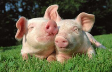 ASP bei Wildschweinen in Belgien festgestellt!