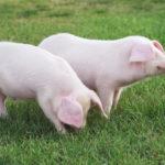China verhängt Importsperre für Deutsches Schweinefleisch